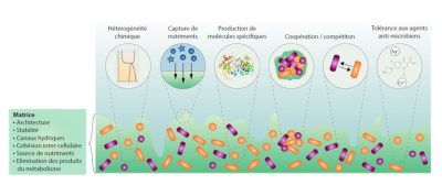 biofilm - biofilms - biofilm bacterien