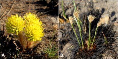 Plantes en fleur - plantes savane - fleurs savane