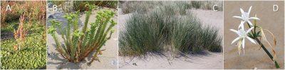 plantes - plantes halophiles