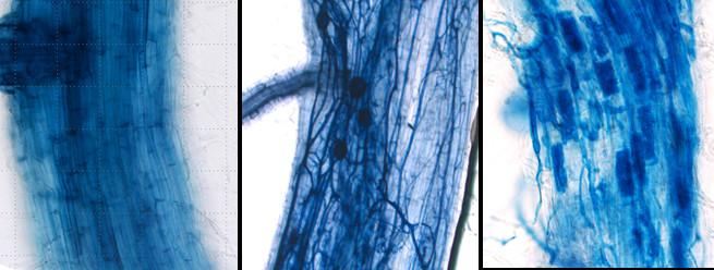 Symbiose riz Rhizophagus irregularis