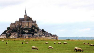 mont saint michel - moutons
