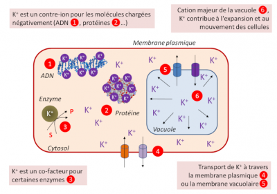 potassium - potassium plantes