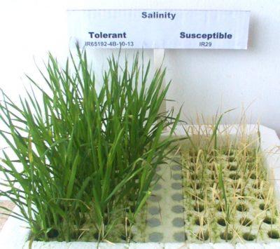 plantes de riz - plantes de riz na+