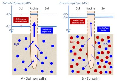 sol salin - pression osmotique sol salin