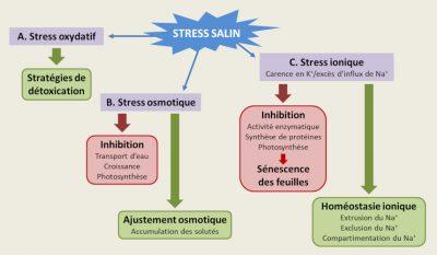 sol salin - stress salin - plantes halophiles - equilibre osmotique - homeostasie ionique