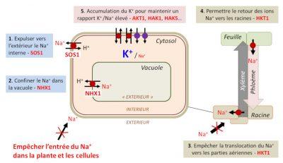 homeostasie ionique - stress salin plantes