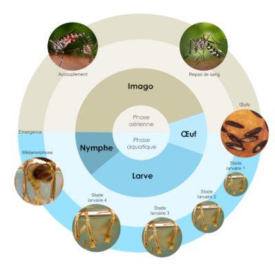 moustique tigre - cycle vie moustique tigre