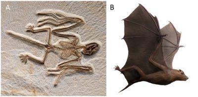 fossile chauve souris