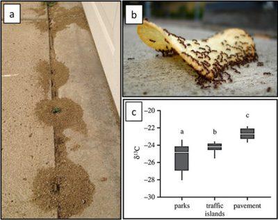 Tetramorium immigrans - ants