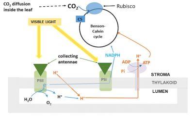 CO2 photosynthetic fixation
