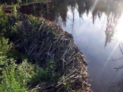 Beaver dam habitat