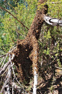 demogenetic strategy bee swarming