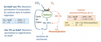 fixation CO2 O2 plante