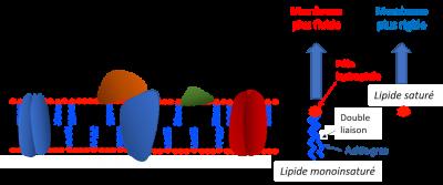 Fluidité membranaire plante temperature