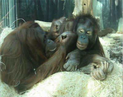 orangutans climate change habitat