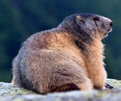 Marmotte biodiversité changements globaux