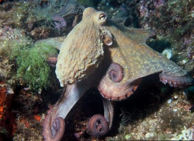 Octopus learning ability