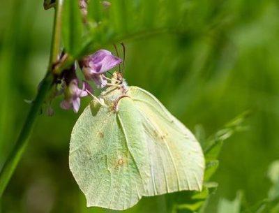 Lemon butterfly destruction ecosystem