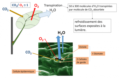 Photosynthèse absorption CO2