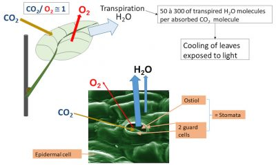 photosynthesis-CO2-absorption