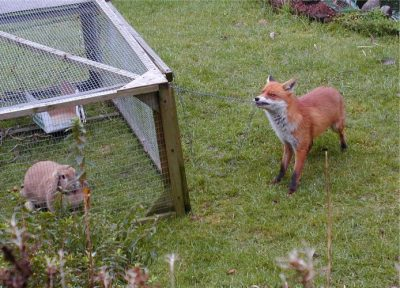 Fox innovation learning