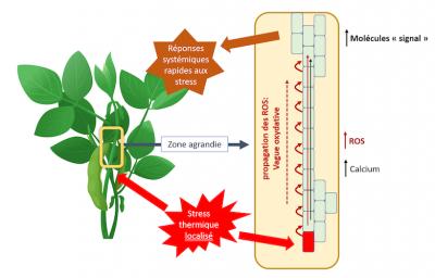 Resistance plante stress