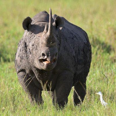 Black rhinoceros extinction