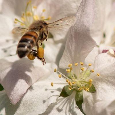 strategie demogenetique abeilles