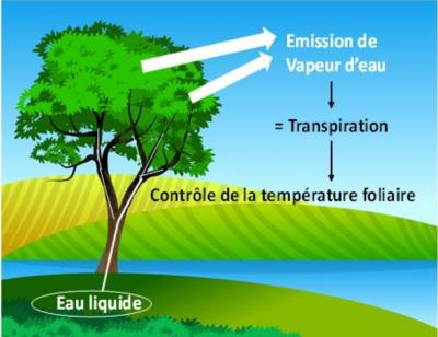 Température feuille photosynthèse