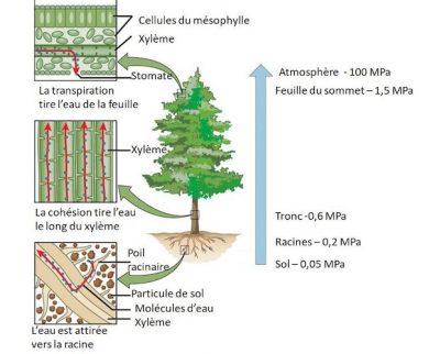 circulation eau dans arbre
