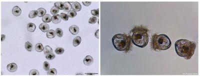 larves huitres creuses plates