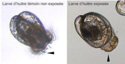 malformation larve huitre micro algue toxique