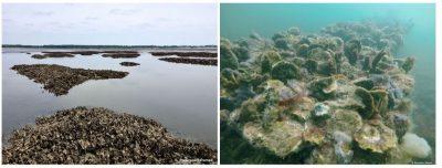 récifs huitres creuses huitres plates