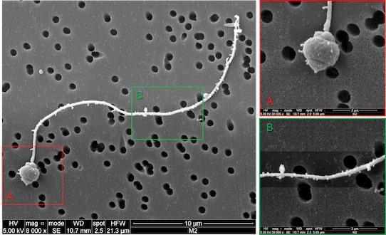 spermatozoides huitres nanoplastiques